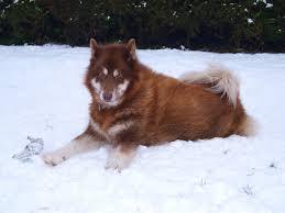 american eskimo dog small canadian eskimo puppies funny puppy u0026 dog pictures