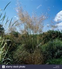 feather grass stipa gigantea flowering ornamental grass
