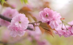 cherry flowers wallpapers 30 amazing free hd flower wallpapers tech lovers l web design