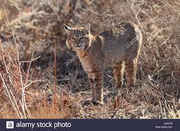 New Mexico wild animals images Bobcat lynx rufus bosque del apache national wildlife refuge new jpg