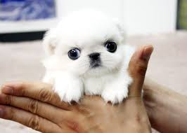 bichon frise for sale cheap best 25 teacup puppies for sale ideas only on pinterest yorkie