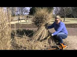 cutting back replanting dividing ornamental grasses
