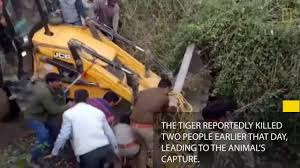tiger crushed by excavator in horrific end to human wildlife