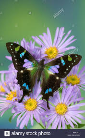 sammamish washington photograph of butterfly on flowers graphium