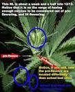 hermaphrodite marijuana preflowers