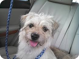 affenpinscher havanese mix peanut u0027s buttercup adopted dog houston tx affenpinscher