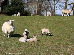 how much grass do ewes and lambs need fas