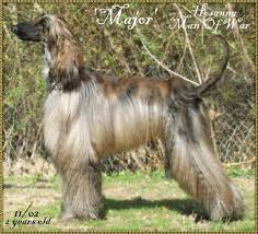 afghan hound puppies california afghan hound major hosanna man of war photo pictures page ill with