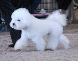 bichon frise breed standard differencies between bolognese and bichon frise sismix kennel