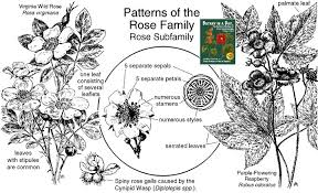 rosaceae family identify plants flowers shrubs and trees
