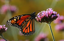 what is the difference between a butterfly and a moth everyday