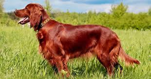 dog breeds in the spotlight for st patrick u0027s day