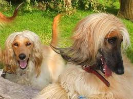 afghan hound times afghan hound dogs breeds pets