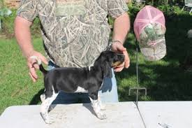 bluetick coonhound in florida view ad bluetick coonhound puppy for sale texas college station