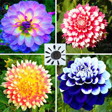 dahlias flowers 25 bag dahlia dahlia flower mixed colors dahlias seeds for diy