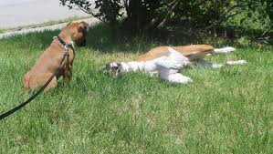 boxer dog in heaven dog madness