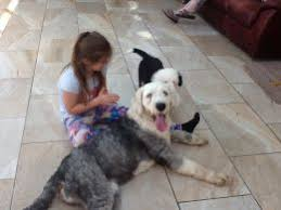 belgian sheepdog puppies for sale uk old english sheepdog dogs and puppies for sale in the uk pets4homes