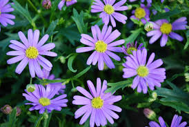 hardy native australian plants five small flowering plants for spring borders austraflora