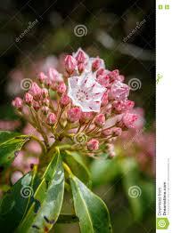 kalmia latifolia kalmia latifolia mountain laurel cluster stock image image 73095739