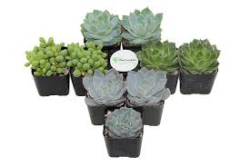 succelents amazon com shop succulents blue green succulent collection of 9