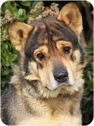 belgian shepherd x alaskan malamute yogi von bear adopted dog los angeles ca alaskan malamute