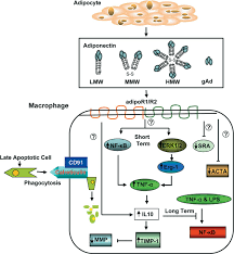 vascular effects of adiponectin molecular mechanisms and