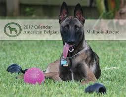 belgian tervuren club colorado american belgian malinois rescue home facebook