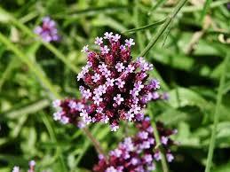 Verbena Flower Verbena Bonariensis Purple Topped Vervain Go Botany