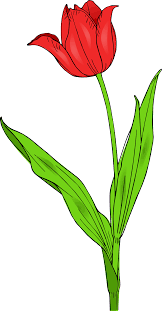 drawn tulip spring flower pencil and in color drawn tulip spring