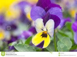 fiori viola fiori viola e bianchi kwckranen