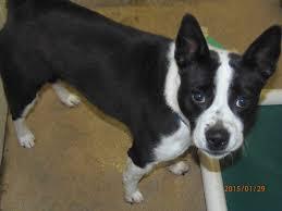 belgian sheepdog chow mix freedom pa border collie meet dexter a dog for adoption
