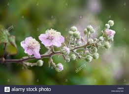 pink bramble flowers rubus stock photo royalty free image