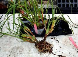 Orchids Care Maxillaria Tenifloria The Coconut Orchid Care And Propagation