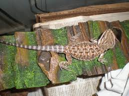 Bearded Dragon Behavior Before Shedding by Tail Discoloration U2022 Bearded Dragon Org