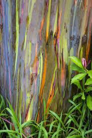 Eucalyptus Trees Rainbow Eucalyptus Tree Most Colorful Trees