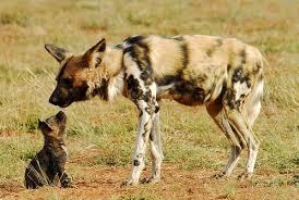 safari ltd african wild dog experience seeing african wild dog on safari in madikwe art of safari