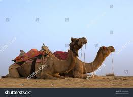 thar desert animals camel sitting khuri dunes thar desert stock photo 35026456