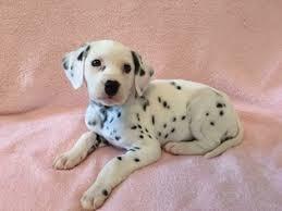 ad dalmatian puppy sale north carolina connellys
