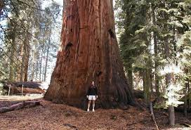 big trees trail picture of general sherman tree sequoia and