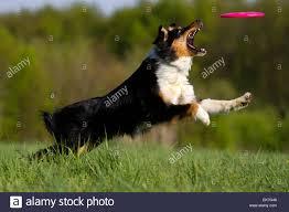 australian shepherd black australian shepherd black leaping fo a flying disc stock