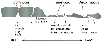types of basement cv physiology microcirculation structure and function