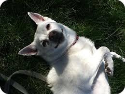 types of american eskimo dogs guelph on american eskimo dog meet minka a dog for adoption
