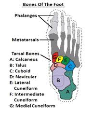 Anatomy Of The Calcaneus Importance Of Anatomy In Icd 10