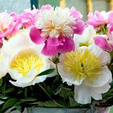 peonies flowers peony flower bulbs garden plants flowers the home depot