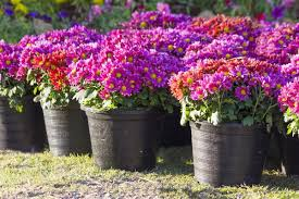 zinnia flowers the ultimate zinnia flower o pedia is right here at your disposal