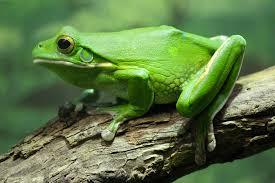 frog the animal kingdom