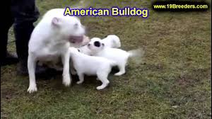 Albq Craigslist by American Bulldog Puppies Dogs For Sale In Albuquerque New