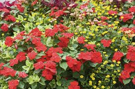 impatiens flowers impatiens flowers tips for growing impatiens