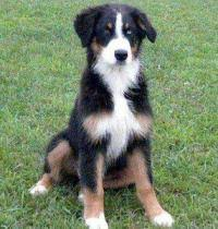 1 month old australian shepherd cost to ship 4 month old australian shepherd from bad axe to