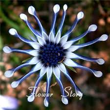 free shipping 50 blue hardy plants flower seeds